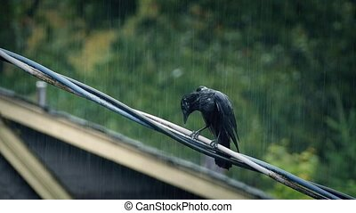 Bird On Wire In Heavy Rainstorm - Black bird on telephone...