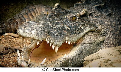 Crocodile Breathing With Mouth Open - Large crocodile lying...