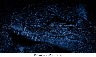 Crocodile Next To Mother At Night - Closeup of baby...