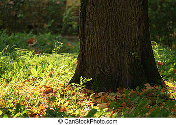 old maple tree with leaves on the ground