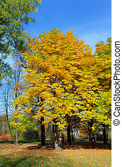 chestnuts with lush foliage in autumn day