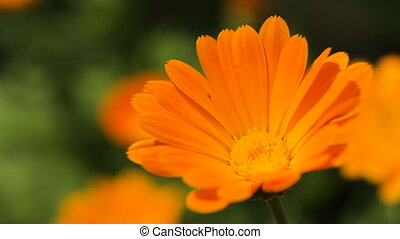 Beautiful orange wildflower - Closeup on beautiful orange...