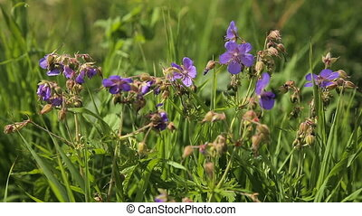 Beautiful purple wildflowers. - Closeup on beautiful purple...