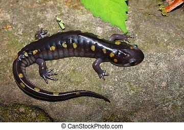 Spotted Salamander - Alabama - A Spotted Salamander...