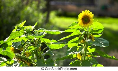 sunflower field in sunny day - sunflower field in beautiful...