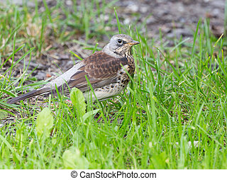 beautiful brown bird - Fieldfare - beautiful smart mottled...