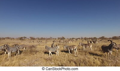 Plains zebra herd - Etosha - Herd of plains zebras (Equus...