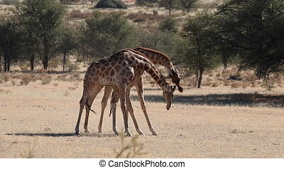 Fighting giraffe bulls - Two giraffe bulls (Giraffa...