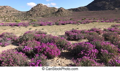 Wild flowers - South Africa - Arid landscape with brightly...