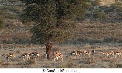 Springbok antelope herd - Herd of springbok antelopes...