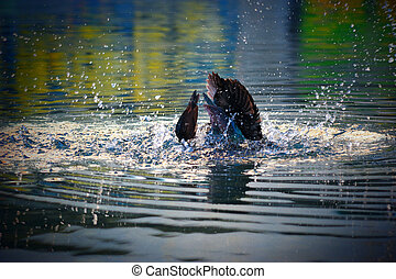 Green and brown Male Indian Runner Duck on the river - Green...