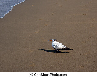 Royal Tern bird hangs out at the beach in Mexico - Royal...