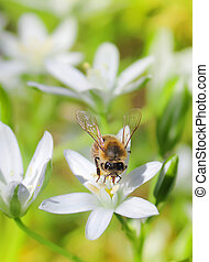 Bee on flower - Bee on white flower close up macro while...