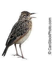 Rufous-naped lark, Mirafra africana, single bird on rock,...