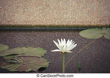 Lotus flower white color - Lotus waterlily flower white...