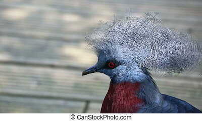 Southern Crowned Pigeon - Close Up Portrait Of A Southern...