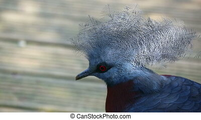 Beautiful Southern Crowned Pigeon (Goura Scheepmakeri)