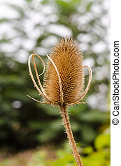 Dipsacus Sativus - A dried flower Dipsacus Sativus in nature