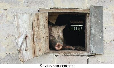 pig looks out from window of shed on the farm