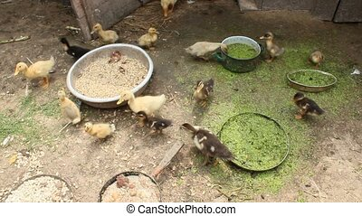 ducklings on the poultry of the farm