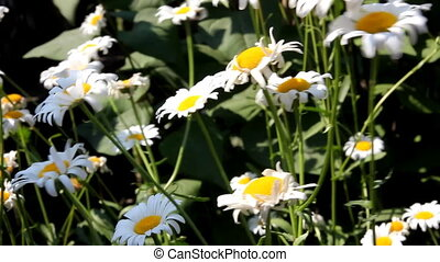 chamomile flowers and wind - chamomile flowers swaying in...
