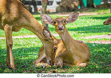 Pair of deer. - Deer lying and standing on the green grass.