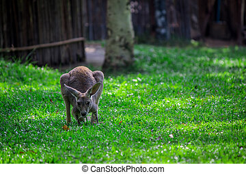 Kangaroo on green grass. Kangaroo in sunlight. Kangaroo in...