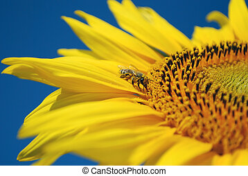 bee sucking nectar from sunflower