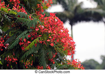 Gulmohar Flower - Gulmohar flower at full bloom on a...