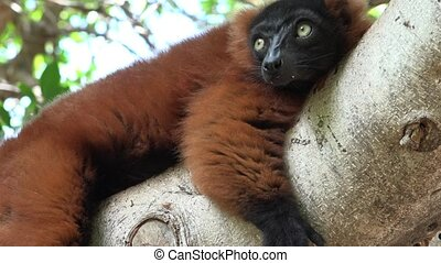 Lemur Resting In Tree