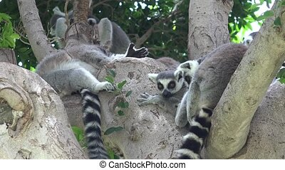 Lemur Wild Animals In Tree