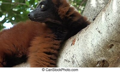 Brown Lemur In Tree