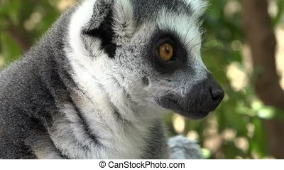 Lemurs An Adorable Cute Animal