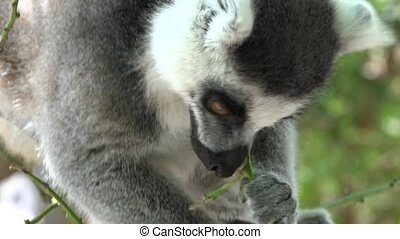 Hungry Lemur A Wild Animal