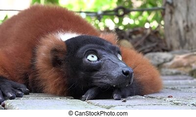 Lemurs Animals And Wildlife