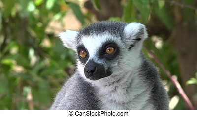 Lemur An Animal Looking And Staring