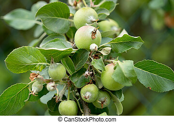 Apple tree with immature apples