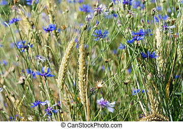 Cornflowers - many Cornflowers and cereal field