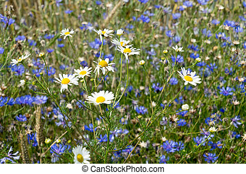 Cornflowers - many Cornflowers on a meadow