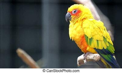 Cute Sun Conure Parrot Bird - Close Up Cute Sun Conure...