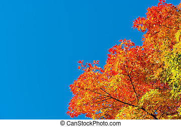 Autumn maple trees with red leaves against pure blue sky in...