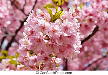 cherry blossoms - Cherry blossoms in full bloom