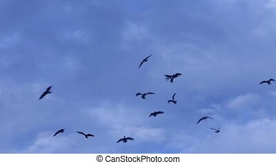 Black birds in the dramatic sky - Many birds restlessly...