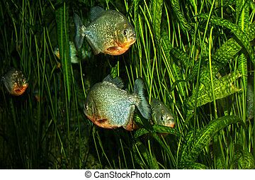 Piranha fish shoal swimming among water plants