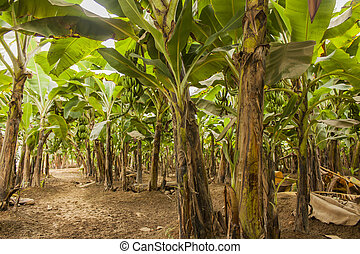 Banana plantation - Detail from banana plantation near...