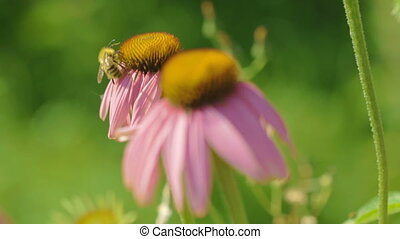 Bumblebee on a Echinacea flower - Bumblebee collects nectar...