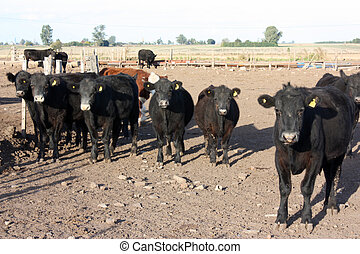 Cattle in a feed lot, in Argentina countryside