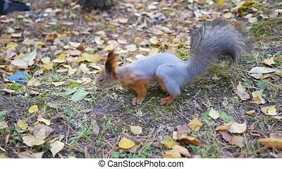 beautiful squirrel running in the Park