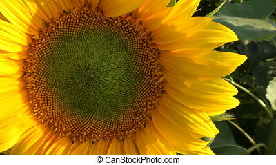 Sunflower in nature with wind that makes it move zoom out