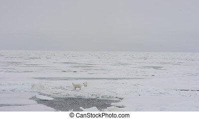 Polar bear walking on sea ice